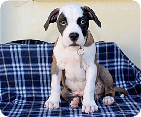 boxer puppies los angeles uno adopted puppy los angeles ca boxer pit bull terrier mix