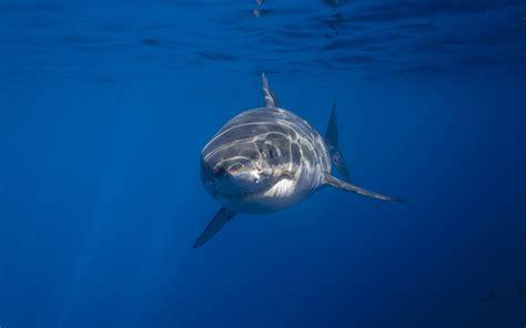 Imagenes Para Fondo De Pantalla De Tiburones | tiburon fondos de pantalla de tiburones wallpapers hd gratis