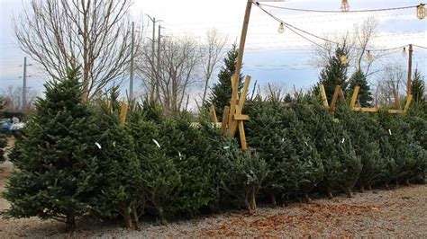christmastree lot utah tips on keeping a tree fresh