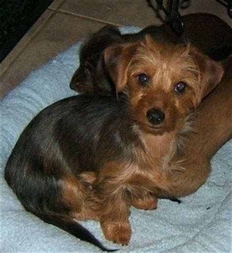 yorkie mixed with wiener 17 best images about dorkie on puppy puppy mix and yorkie