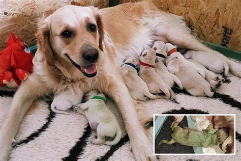 green golden retriever puppy owner stunned after golden retriever gave birth to a green puppy