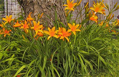 Daylilies For Shade Bloomingfields Farm Daylilies Orangeman Shade Plantings