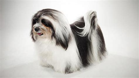 the havanese havanese breed selector animal planet