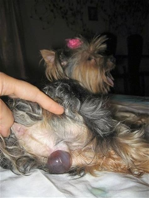 raising yorkie puppies whelping terrier puppies and