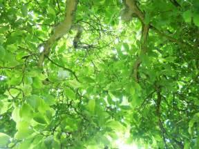 tree and leaf amras888