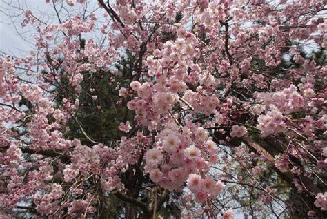 Sho Tiens de la couleur des cerisiers shirubii sho