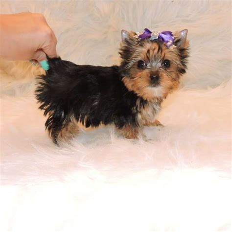 mini yorkie info terrier teacup size