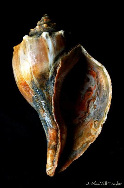 Knobbed Welk by Knobbed Whelk Malacology Conchyliologie
