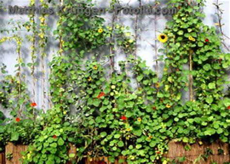 Kletterpflanzen Selbstklimmer by Kletterpflanzen Infos Und Tipps Zu Rankpflanzen