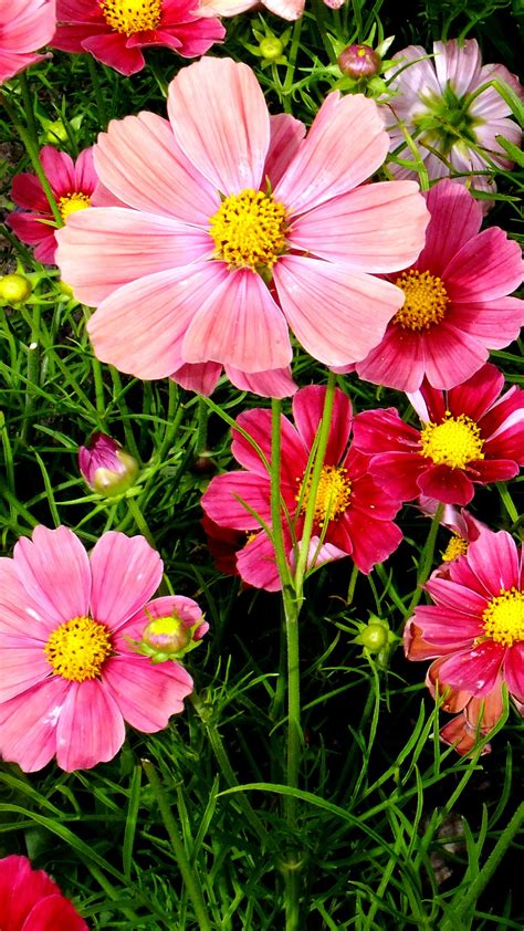 pink cosmos flowers wallpapers hd wallpapers id