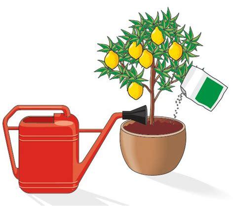 concime agrumi in vaso curare gli agrumi in vaso cose di casa