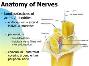 Cranial Nerves Table Chapter 13 The Peripheral Nervous System And Reflex
