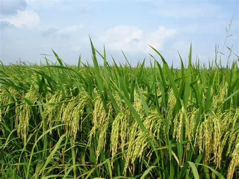 Hasil Pupuk Bioboost bioteknologi bioboost k link aplikasi bioboost pada