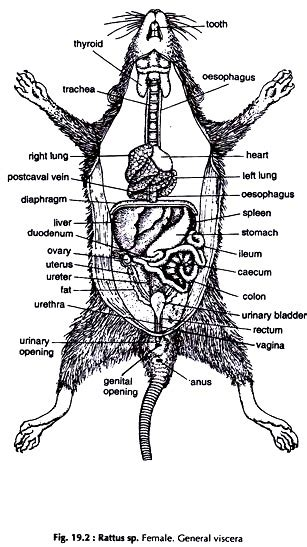 Rat Dissection Diagram dissection of rat with diagram zoology