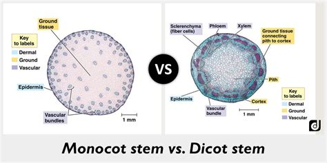 difference between monocot and dicot root cross section difference between monocot and dicot stem