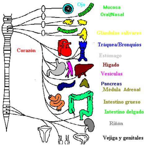 imagenes mentales involuntarias sistema nervioso el sistema nervioso aut 243 nomo o vegetativo