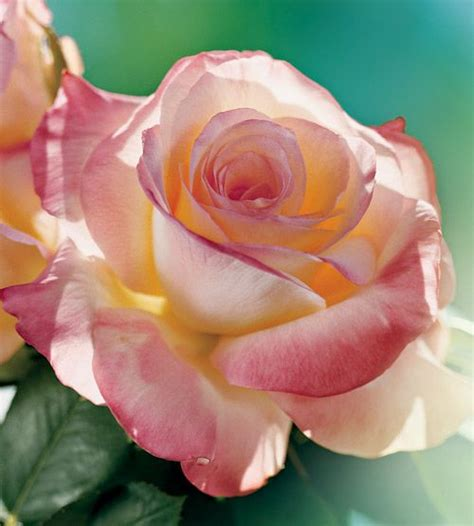 princess diana rose 25 best ideas about beautiful roses on pinterest roses