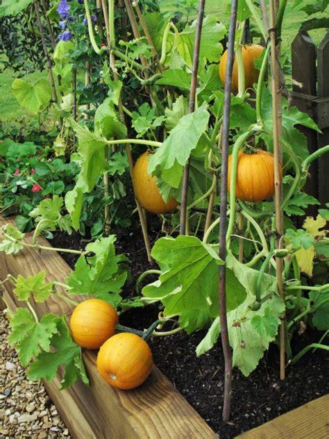 planting pumpkins for how to grow pumpkins how tos diy
