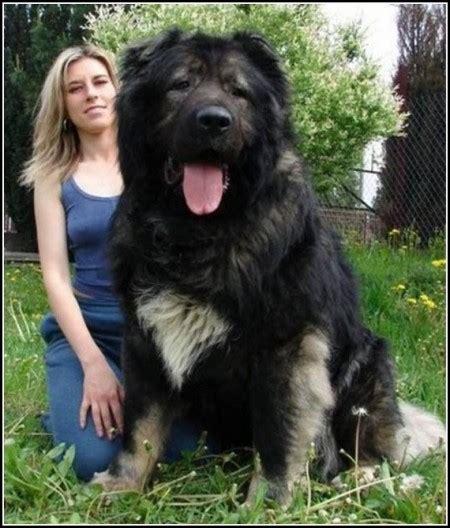 russian mountain caucasian mountain shepherd pet photos gallery wmkndag37o