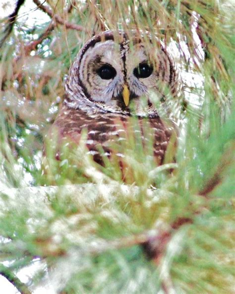 owl in backyard barred owl mdc discover nature
