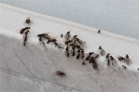 flying ants in house image gallery killing flying ants in house