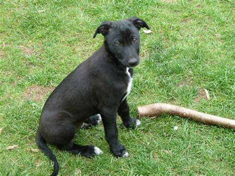 Color Of Intelligence by Lurcher Breed Info Temperament Puppies Care Training