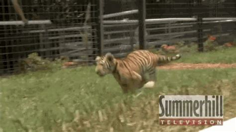 gif format player cute tiger puppy unlikely friends play together swim