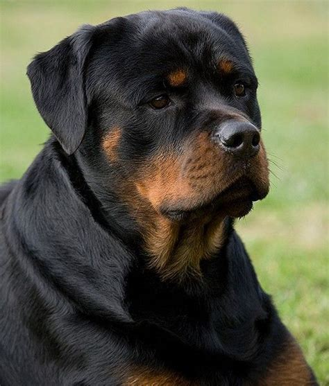 rottweiler different types different types of spaniel breeds quotes quotes