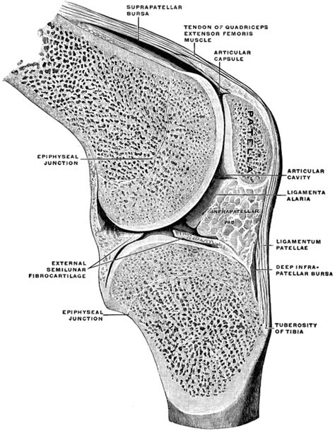 sectional view of the knee joint sagittal section through knee joint clipart etc