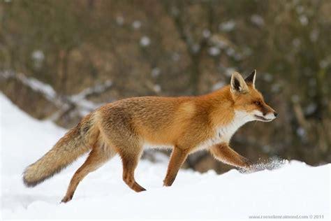 imagenes de zorros tristes zorros rojos holanda im 225 genes taringa