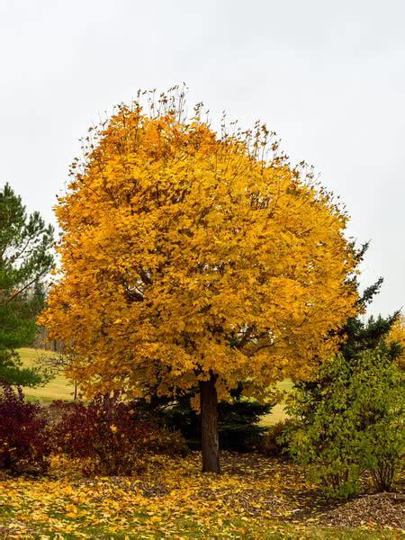 silver maple  sale treetimeca