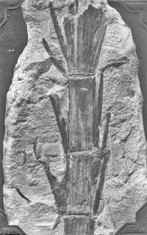 Calamites carinatus, C. cisti, C. ramosus, C. brittsi, and
