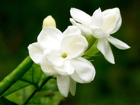 wallpaper full hd jasmine flower jasmine flower photos new hd wallpapers pictures free
