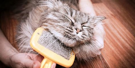 3 tips if your cat is shedding lots of fur it could be