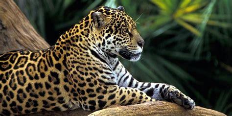 jaguar and cat jaguar a strong cat dinoanimals