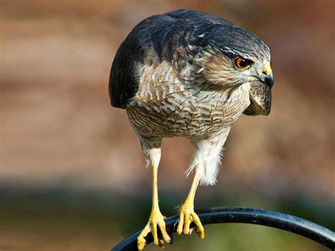 sharp shinned hawk audubon field guide