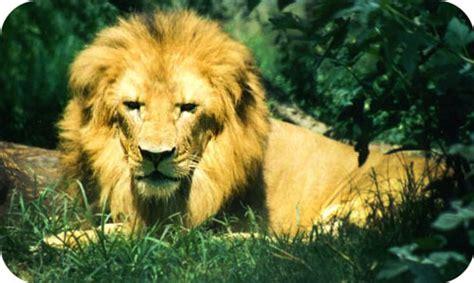 image gallery lion symbolism