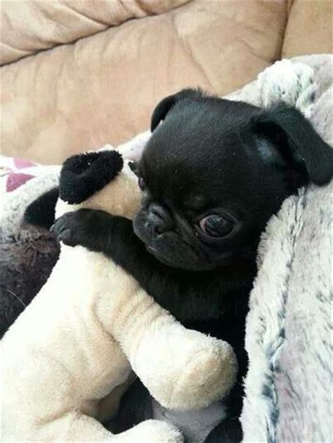 how to get a pug how to get cheap puppies for sale pets world