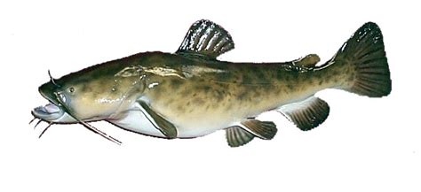 drawings of flathead catfish www imgkid com the image