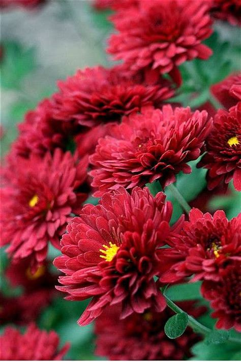 flower fall mums are the perfect fall flower repinned by mission