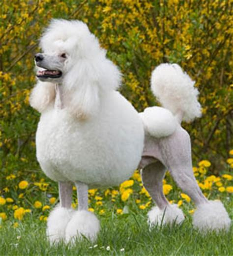 picture of poodle with silky hair texture poodle dicas e cuidados