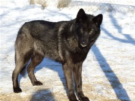 wolf shepherd puppies 59 best images about wolf hybrids on wolves husky wolf mix and wolfdog