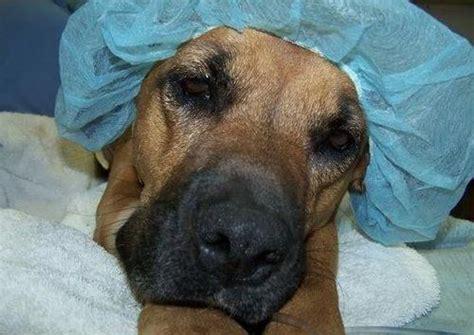 sensitivity  anesthesia   dog breed  risk