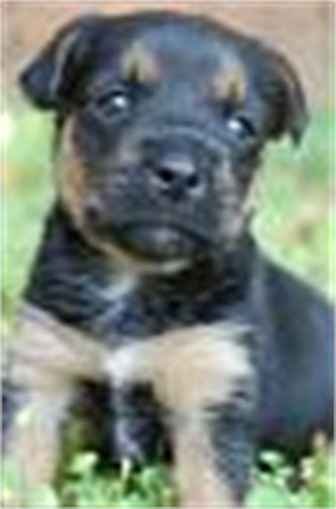 shar pei yorkie mix shar pei yorkie mix place to post help yorkietalk forums