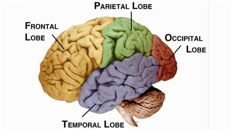4 sections of the brain parts of the brain and their functions psychology