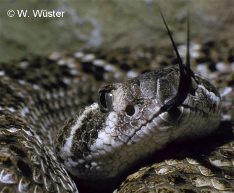 Western Diamondback Rattlesnake Head Western Diamondback Rattlesnake Head