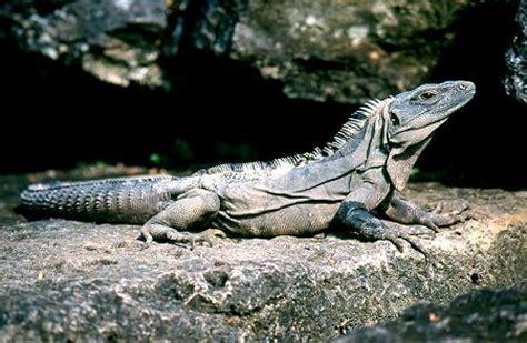 imagenes de iguanas verdes y negras 2 iguana negra iguanas m 233 xico