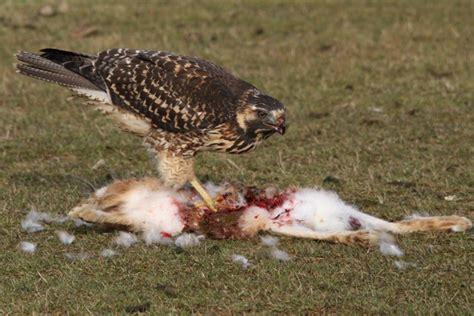 red backed hawk family feeding on a hare carcass birding