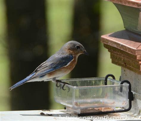 bluebirds visit mealworm feeder