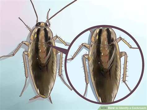 4 ways to identify a cockroach wikihow